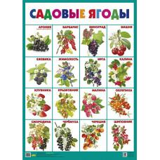Плакат. Садовые ягоды